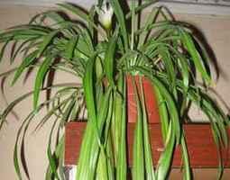 хлорофитум-неприхотливое комнатное растение