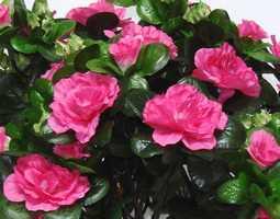 Цветущие комнатные растения трудно