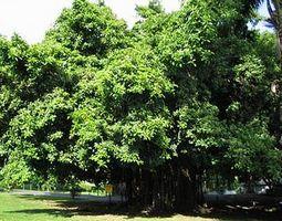 фикус-фиговое дерево