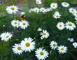 Ромашка садовая - нивяник