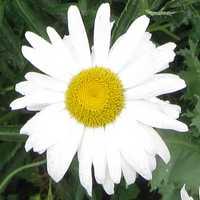 Ромашка - символ праздника День семьи