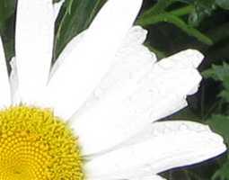 Ромашка - цветок